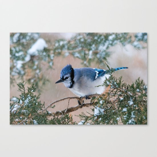 Hunkered Down (American Blue Jay) Canvas Print