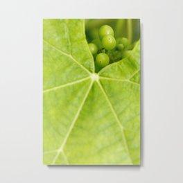Maturing wine grapes Metal Print