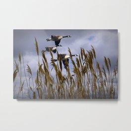 Geese flying in for a landing Metal Print