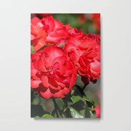 Flowerheads of red roses Metal Print