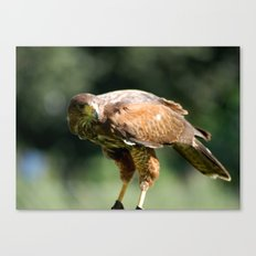 Keen Eye Canvas Print