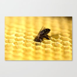 Licking bee Canvas Print