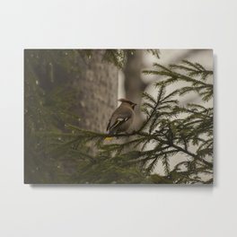 A bohemian waxwing on a pine tree branch Metal Print