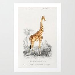Giraffe (Giraffa camelopardalis) illustrated by Charles Dessalines D' Orbigny (1806-1876). Art Print
