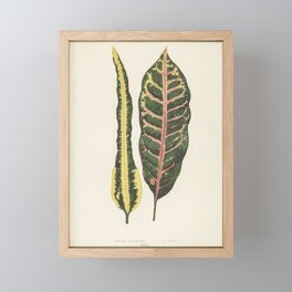 Croton irregulare engraved by Benjamin Fawcett (1808-1893) for Shirley Hibberd's (1825-1890) New and Framed Mini Art Print