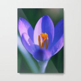 Crocus flowers Metal Print