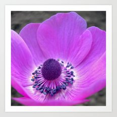 purple anemone Art Print