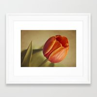 tulip Framed Art Prints featuring Tulip by Lawson Images