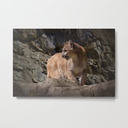Mountain Lion on the Prowl Metal Print
