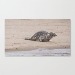 Cape Cod baby seal Canvas Print