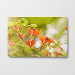 Azalea Glowing Embers orange flowers Metal Print