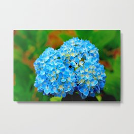 Brilliant blue hydrangea Metal Print