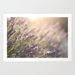 Lavender flowers during sunset in Provence, France Art Print
