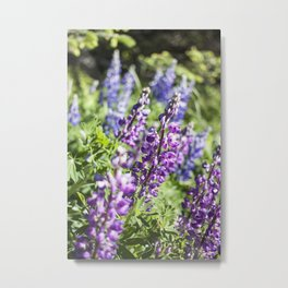 Field of Lupines Photography Print Metal Print