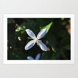 Virgin's Bower (Clematis) Art Print