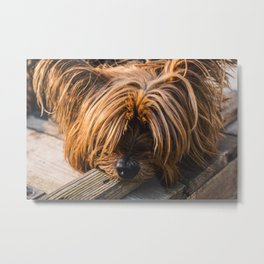 Yorkshire Terrier Biting Wood Metal Print