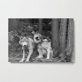 Fooling around wolfs Metal Print