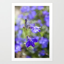 Blue lobelia Art Print