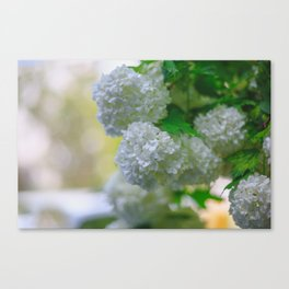 White Viburnum Flowers Branch Close Up Spring Canvas Print