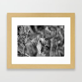 Hummingbird and the Flower- Black and White Framed Art Print