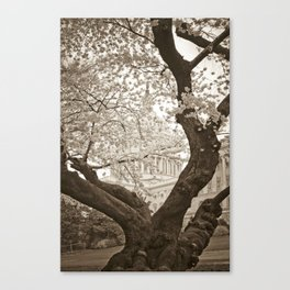 Cherry Blossoms in bloom at Capitol Building :: Washington DC Canvas Print