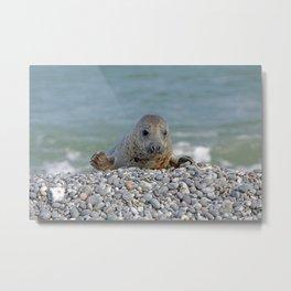 Gray seal - Kegelrobbe Metal Print
