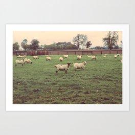 Sheep in Athy, Ireland Art Print