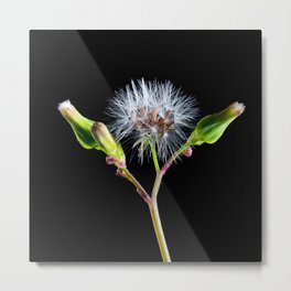 Dandelion flower 5 Metal Print