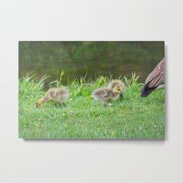 Twin Lakes Park - Baby Geese Metal Print
