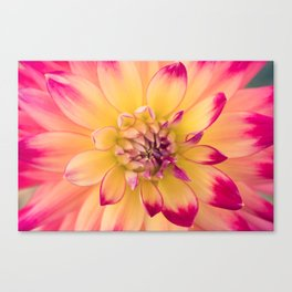 Pink and Yellow Dahlia Canvas Print