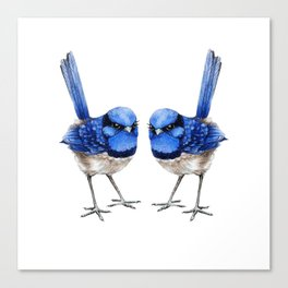 Splendid Blue Wrens, Pair Canvas Print