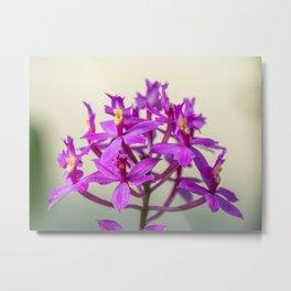 Epi Pretty Lady Misumi Orchid Flowers Metal Print