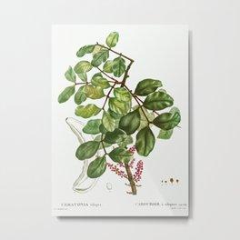 carob tree (Ceratonia siliqua) from Traité des Arbres et Arbustes que l'on cultive en France en plei Metal Print