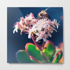 Crassula ovata Jade Flowers and Honey Bee Kula Maui Hawaii Metal Print