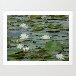 Field of Water Lillies Art Print