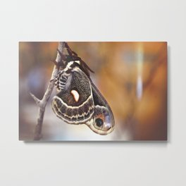 Male Columbia Silkmoth (a) Metal Print