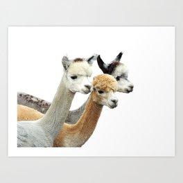 Alpaca Trio Art Print