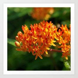 Butterflyweed, Asclepias tuberosa Art Print