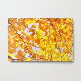 Autumn beech Fagus foliage yellow Metal Print