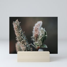 Grey Willow Photo   Nature Flower Photography   Grey Leaved Sallow  Mini Art Print