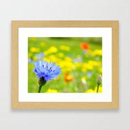 Bachelor's Buttons Flower Framed Art Print