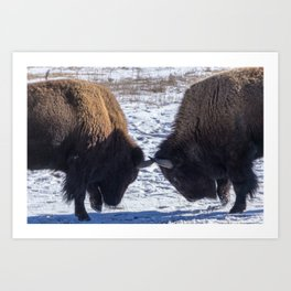 Bison Fights Art Print