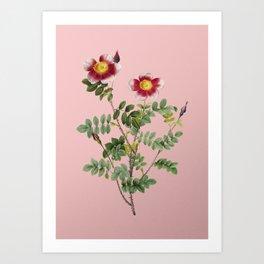 Vintage Variegated Burnet Rose Botanical Illustration on Pink Art Print
