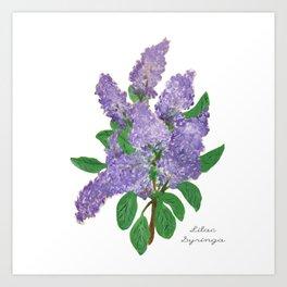 Lilacs: Syringa Art Print
