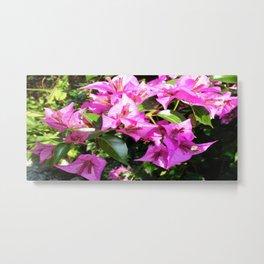 Purple Pink Bougainvillia In Blossom  Metal Print