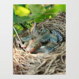 Azores blackbird nest Poster