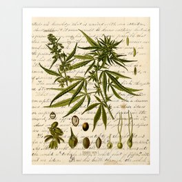 Marijuana Cannabis Botanical on Antique Journal Page Art Print