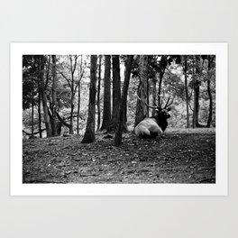 Elk Laying Down in Woods Art Print