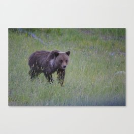 Grizzly cub learns to hunt Canvas Print