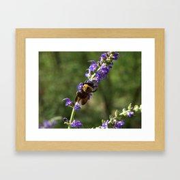 Bumble Bee on purple Framed Art Print